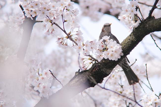 桜 – 先客