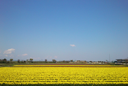 チューリップな畑