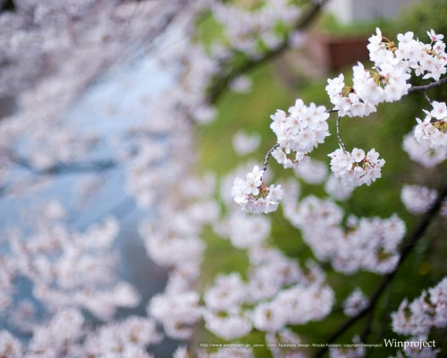 SAKURA(桜)壁紙